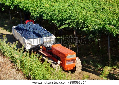 Harvesting red grapes Montepulciano in vineyards of Abruzzo, Italy - stock photo