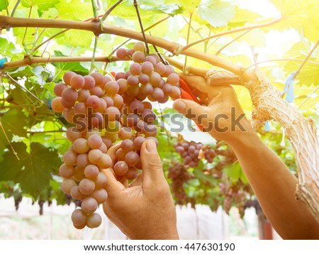 Harvesting ripe grapes in vineyards with sunset light effect