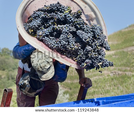 Harvesting the Grapes - stock photo