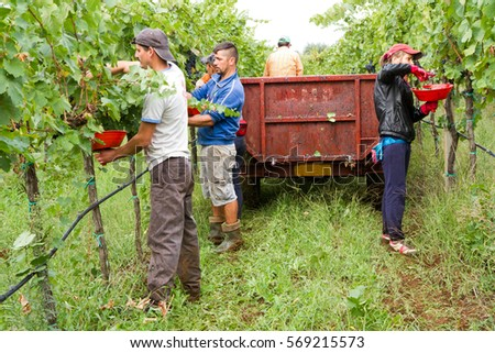 harvesting time, cutting the grapes