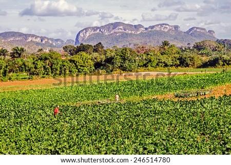 Harvesting tobacco landscape - stock photo