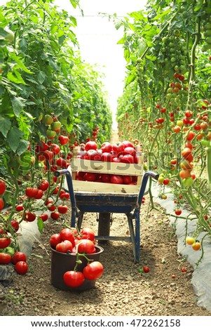 harvesting tomatoes in garden