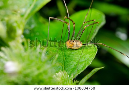 harvestman close up on burdock leaf