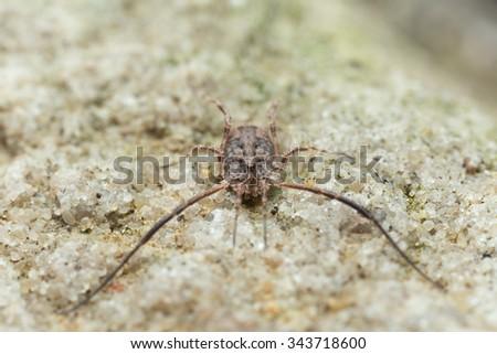 Harvestman, Lacinius horridus - stock photo