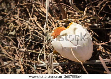 Hatch a goose egg on nest; new life - stock photo