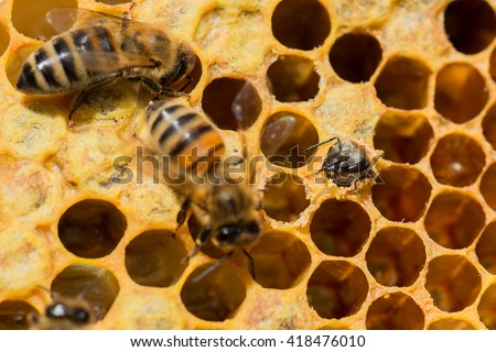 Hatch of a young honey bee (Apis mellifera) - stock photo