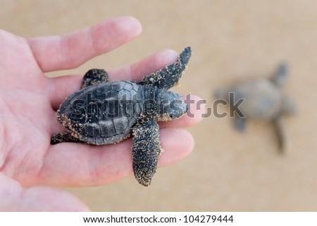 Hatchling Loggerhead  a baby on palm, sri lanla island - stock photo