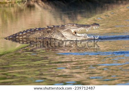 Haunting crocodile in shallow water. South Africa, Kruger's National Park.