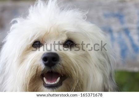 Havanese Dog - stock photo