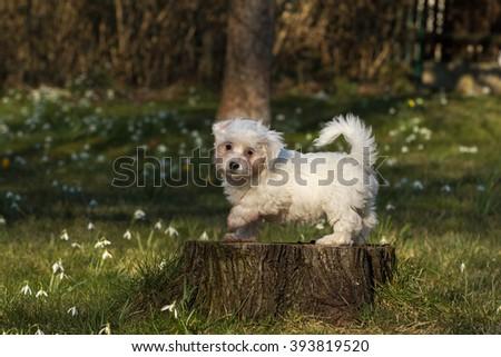 Havanese dog puppy - stock photo