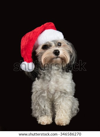 Havanese dog with santa hat - stock photo