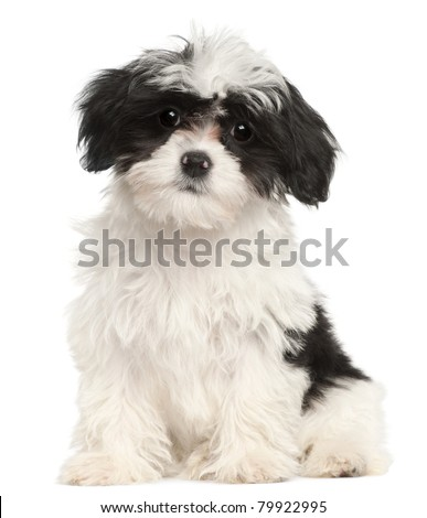 Havanese puppy, 12 weeks old, sitting in front of white background - stock photo