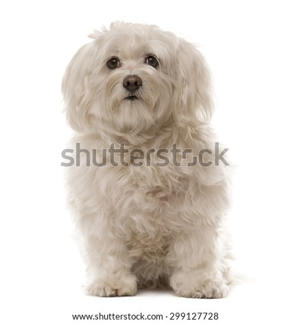 Havanese sitting in front of a white background - stock photo