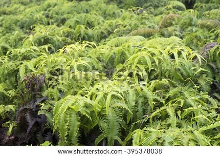 Hawaian Boston fern-3 - stock photo