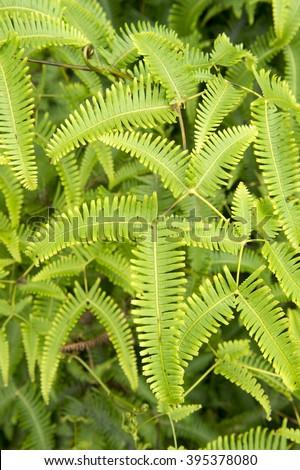 Hawaian Boston fern-1 - stock photo