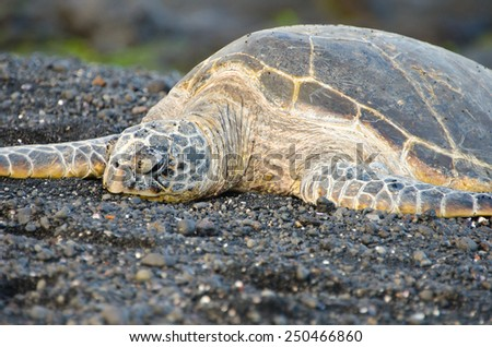Hawaii Green Sea Turtle on Black Sand Beach  - stock photo