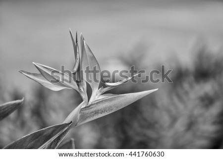 Hawaiian Bird of Paradise Flower in black and white with point of focus on the flower. - stock photo