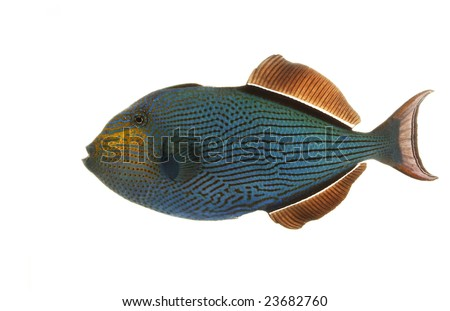 Hawaiian Black Triggerfish (Melichthys niger) isolated on white background. - stock photo