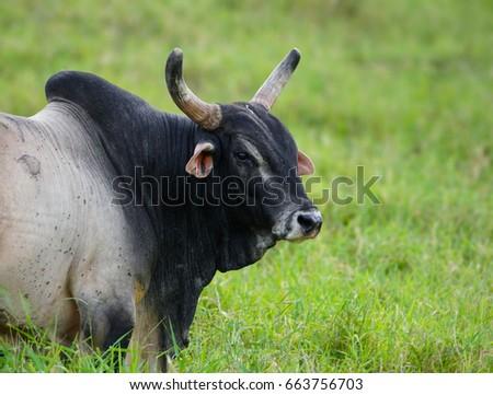 Hawaiian Brahma Bull Stock Photo Download Now 663756703 Shutterstock