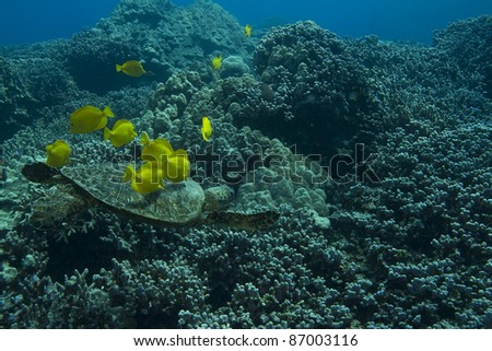 Hawaiian Green Sea Turtle being cleaned by Yellow Tangs. - stock photo