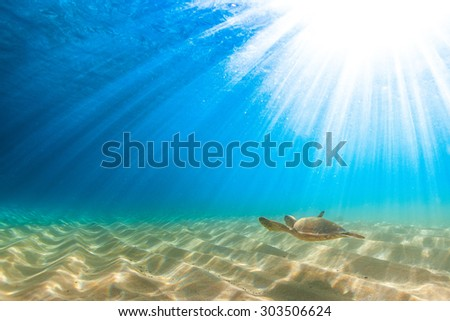 Hawaiian Green Sea Turtle cruises in the warm waters of the Pacific Ocean