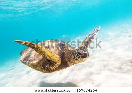 Hawaiian Green Sea Turtle (Honu) - stock photo