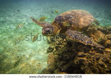 Hawaiian Green Sea Turtle (Honu) relaxing in the waters of Hawaii - stock photo