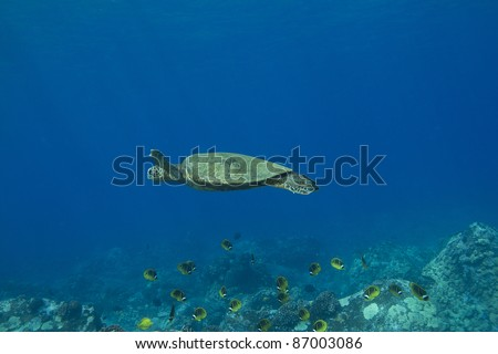 Hawaiian Green Sea Turtle swimming over a school of butterflyfish. - stock photo