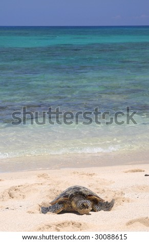 Hawaiian green sea turtle with gorgeous waters in the background.
