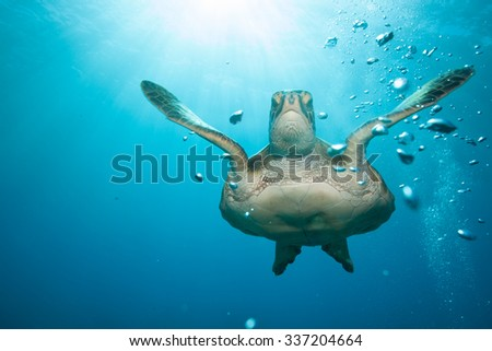 Hawaiian green sea turtle with sunburst and bubbles in a blue ocean - stock photo
