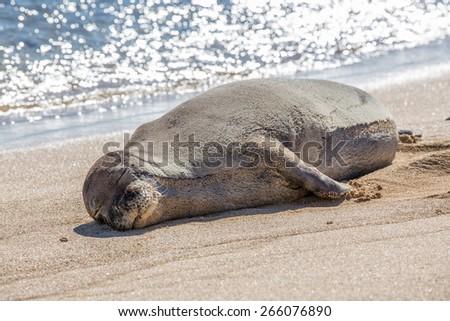 Hawaiian Monk Seal - stock photo