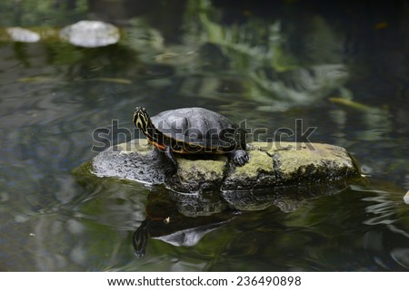 Hawaiian turtle standing on top of a rock above a body of water - stock photo
