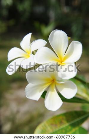 Hawaiian typical white flower - stock photo