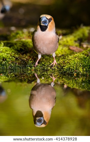 hawfinch, a bird in a nature habitat, spring nesting, Russia - stock photo