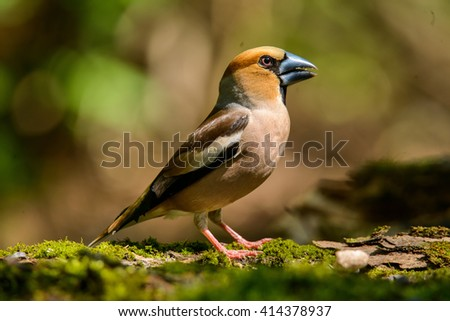 hawfinch, a bird in a nature habitat, spring nesting, Russia