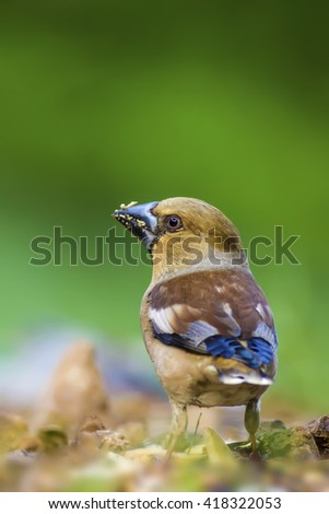 Hawfinch and green nature background Hawfinch / Coccothraustes coccothraustes