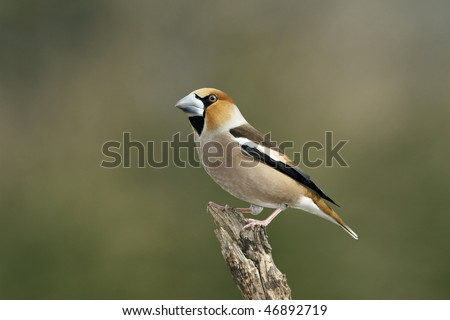Hawfinch (Coccothraustes coccothraustes) on a branch with green background