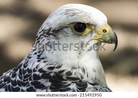 hawk, beautiful white falcon with black and gray plumage - stock photo