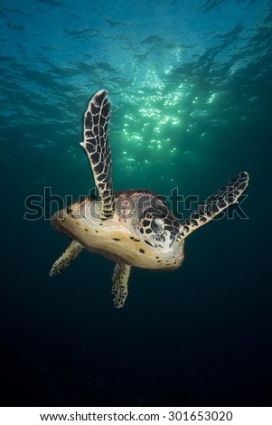 hawk bill turtle swimming