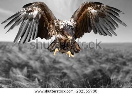 Hawk, Bird, Eagle. - stock photo