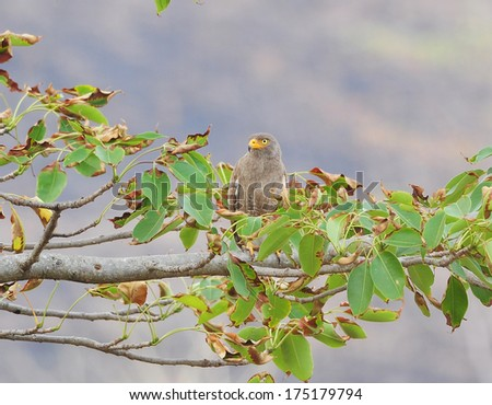 Hawk bird on a branch - stock photo