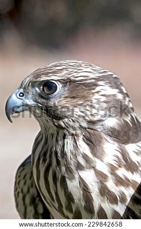 Hawk Eye - stock photo