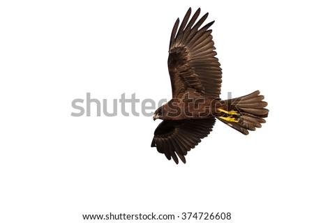 hawk flying isolated  Western Marsh Harrier / Circus aeruginosus - stock photo