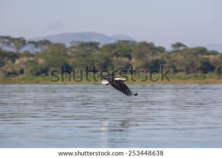 hawk flying over the water at high speed - stock photo