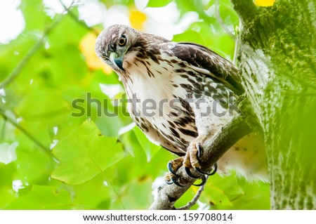 hawk hunting for a squirrel on an oak tree - stock photo