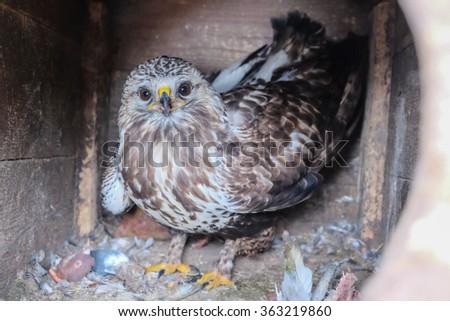 hawk in captivity - stock photo
