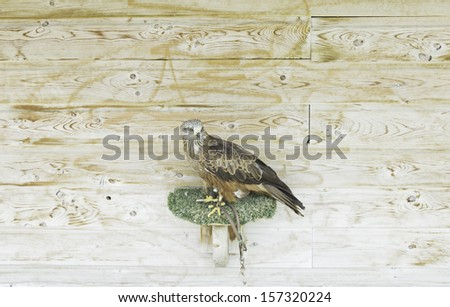 Hawk in nest on wooden cage, wild animals - stock photo