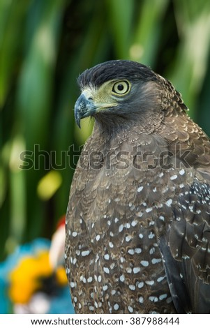 Hawk is similar to the Eagle The birds of prey as well. But the Hawks are smaller Is there a hooked beak. With sharp claws and strong Fly Fast - stock photo