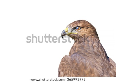hawk isolated on white Common Buzzard / Buteo buteo - stock photo