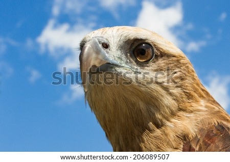 hawk on sky background